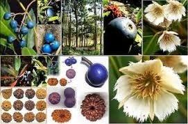 L'arbre a Rudraksha Elaeocarpus angustifolius colier bracelet mala france